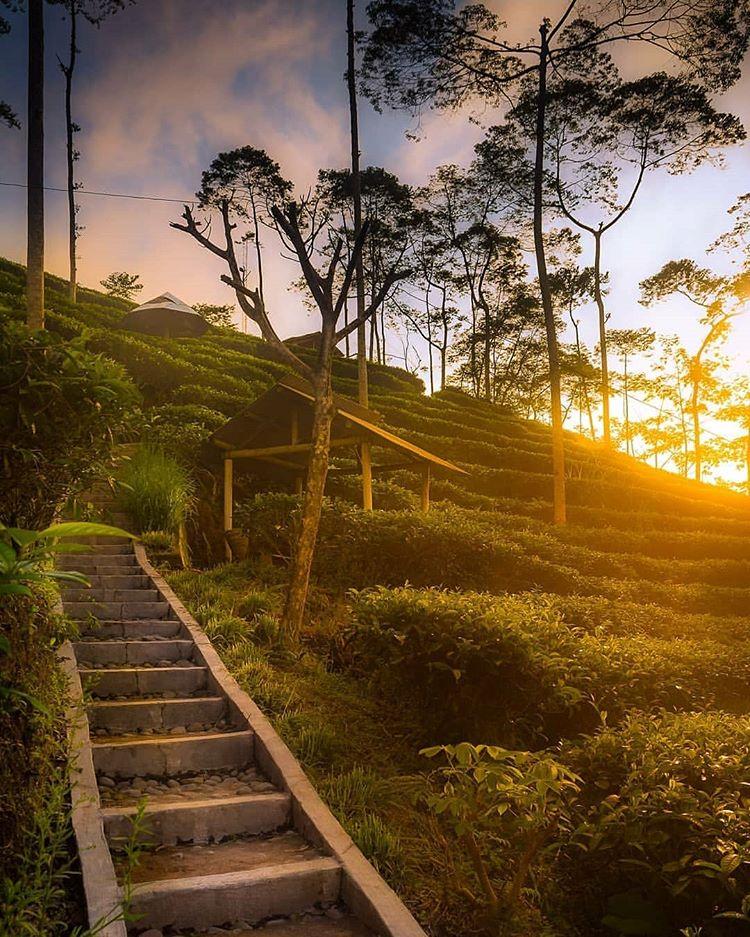 Kebun Teh Tritis Kulon Progo Jogja, sumber ig panoramakulonprogo