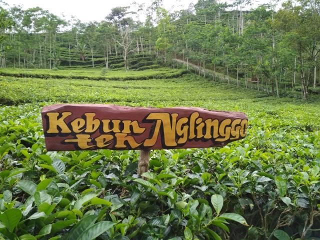 Gambar Kebun Teh Nglinggo Kulon Progo, Sumber: https://www.dlhk.jogjaprov.go.id